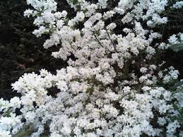 White Flowering Shrub - can anyone help me identify this beautiful white flowering shrub