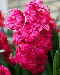 Hollyhock Flowers Hyacinth Hollyhock Flower Bulbs Dutchgrown