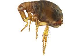 fleas archives dallas fort worth houston pest control service