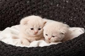 7 genes control cat u0027s fur color catster