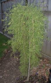 84 best trees images on pinterest landscaping backyard plants