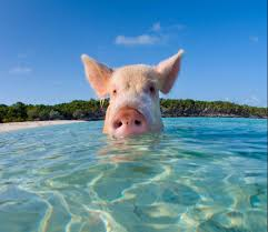 drunk tourists blamed for mass death of famous swimming pigs of