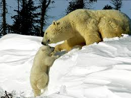 polar bear pictures bear wallpapers national geographic
