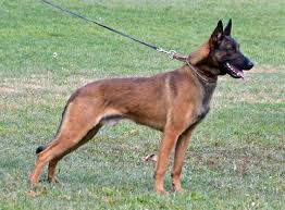 belgian sheepdog guard dog belgian malinois for sport police personal protection and family