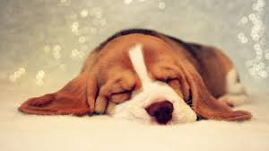 hdq beagle puppy top beagle puppy wallpapers