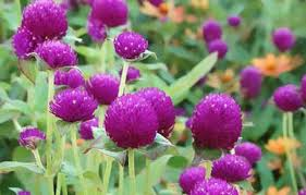 Long Blooming Annual Flowers - best garden flowers for color all summer this old house