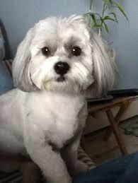 shih poo haircuts my shih poo bentley bentley pinterest shih poo and dog