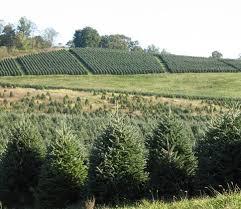 how long do real christmas trees live real christmas trees