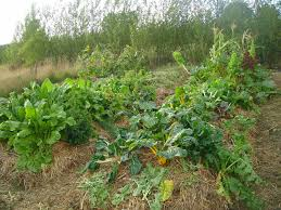 vegetable garden sun requirements synergistic growing permaculture magazine