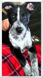 australian shepherd queensland heeler mix puppies pit heeler dog breed information and pictures