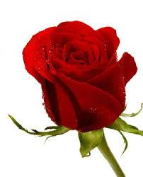 wholesale fresh flowers buy fresh flowers 25 roses stem wholesale value pack