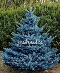 2018 bag blue spruce trees bonsai blue spruce seeds picea pungens