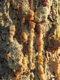 pine tree resin on the trunk the drops of resin flow on the