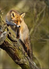 red fox climbing a tree pixdaus