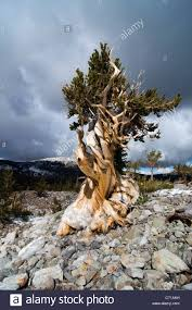 Great Basin National Park Map A Bristlecone Pine Tree Grows In The Wheeler Peak Grove In Great