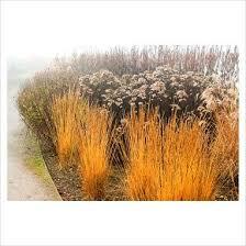 molinia caerulea subsp caerulea moorhexe rhs garden wisley