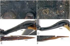 aubert si e auto addition to the study of the genus dusona hymenoptera
