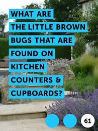 tiny brown bugs in my kitchen cabinets learn what are the brown bugs that are found on