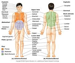 Human Anatomy Words General Anatomy And Physiology Of A Human