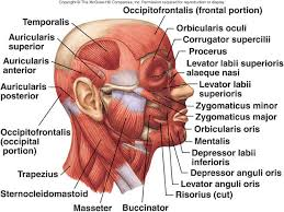 Orbicularis Oris Lecture 14 Muscles Iii