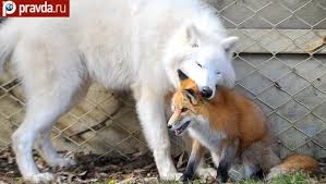that s why the keepers decided that the arctic wolf and the fox