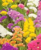statice flowers sinuata rainbow statice sinuata rainbow statice flowers sinuata
