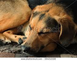beagle x australian shepherd beagle shepherd mix stock images royalty free images u0026 vectors