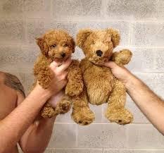 havanese vs bichon frise puppy vs teddy animal dog and doggies
