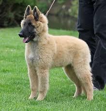 belgian shepherd dog malinois 1000 images about belgian shepherd tervueren u0026 malinois on