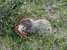 arctic ground squirrel wikipedia