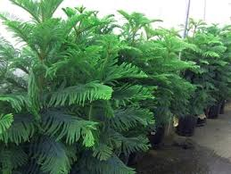 norfolk island pine ornamental plant of the week for december 22