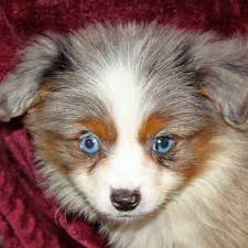australian shepherd and poodle toy australian shepherd puppy for sale in boca raton south florida c
