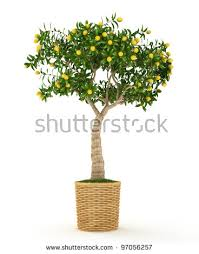 lemon tree stock images royalty free images vectors