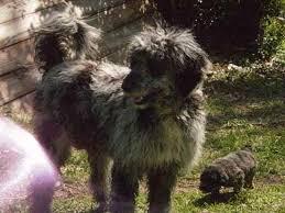 australian shepherd and poodle aussiedoodle aussiedoodles australian shepherd x poodle