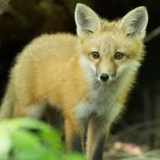 fox hunting u0026 trapping mdc hunting and fishing