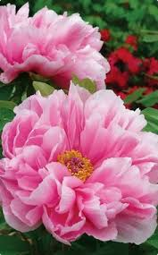 paeonia u0027coral sunset u0027 wow i have never seen such a color the