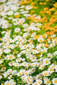 Spring Flower Pictures White Picket Fence N Daisies 8x10 Photo By Evensenphotography
