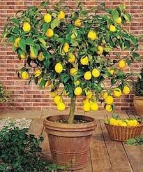 how to grow a lemon tree from seed meyer lemon tree lemon and