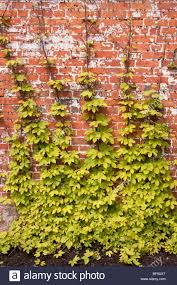 hop vine stock photos u0026 hop vine stock images alamy