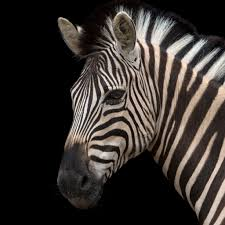 plains zebra national geographic