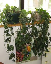 houseplant trellis heart leaf philodendron university of florida institute of food
