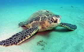 Imagenes Tortugas Verdes | tortuga verde información y características