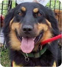 australian shepherd tan northwest max adopted dog 083 08 olive branch ms english