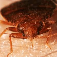How To Get Rid Of Bed Bugs Yourself Fast How To Get Rid Of Love Bugs U2013 How To Get Rid Of Stuff