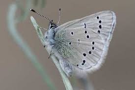 silvery blue butterfly pictures