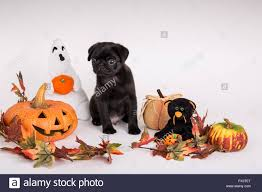 Halloween Decorations Usa by Fitzgerald A 10 Week Old Black Pug Puppy Surrounded By Halloween