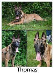 belgian shepherd ottawa taz belgian shepherd malinois mix dogs for adoption