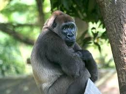 file cross river gorilla gorilla gorilla diehli jpg wikipedia
