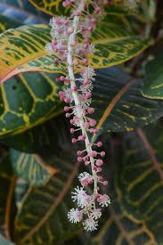 croton flower