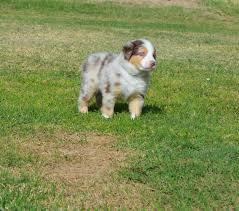miniature australian shepherd 6 weeks wranglin aussies sydney and jango u0027s past litter australian shepherds
